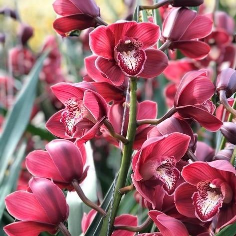 Cymbidium autumn flowers