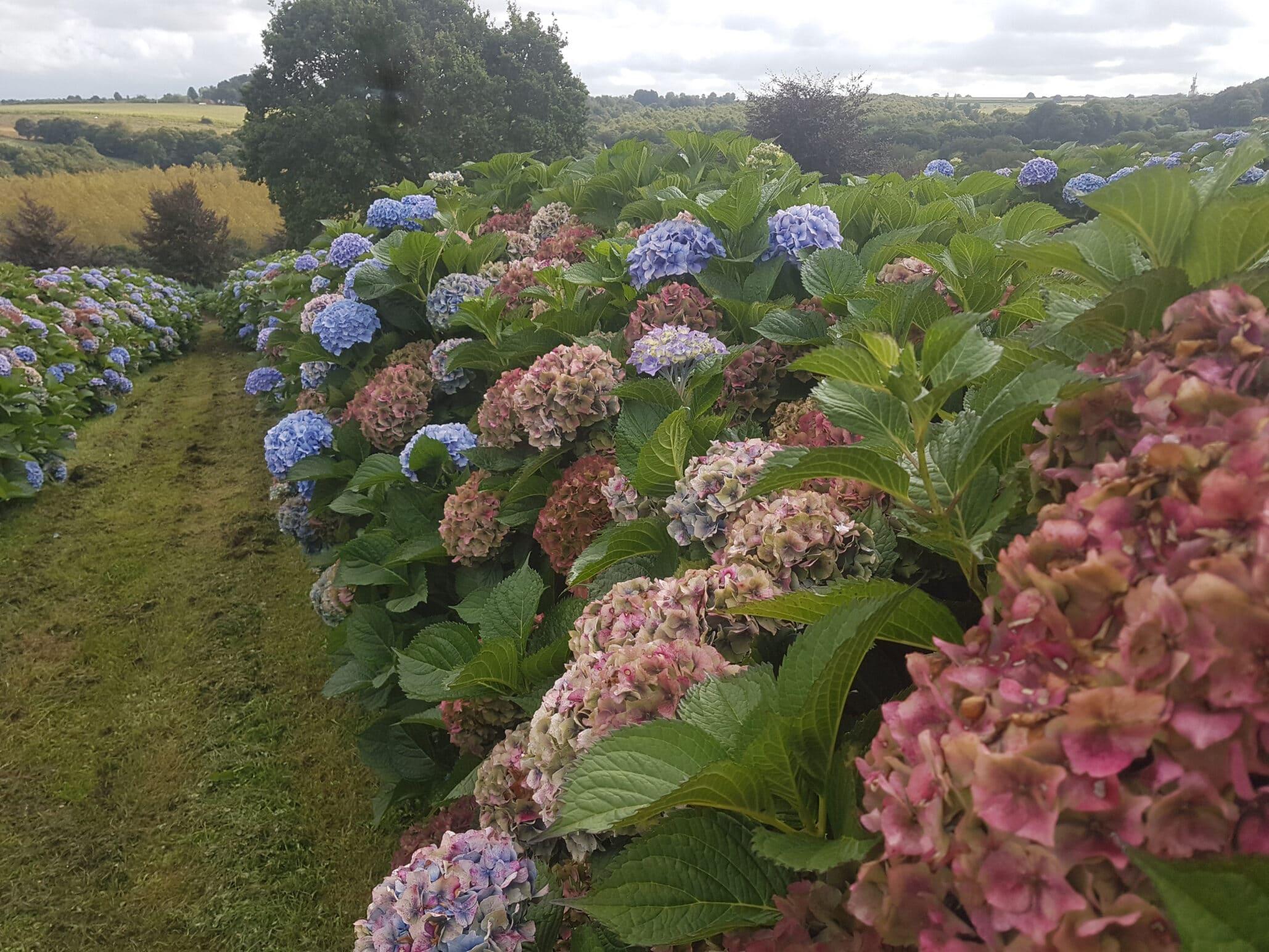 Jardin Hortence Fields