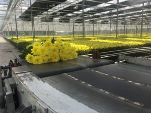 Linflowers Chrysanthemum Production