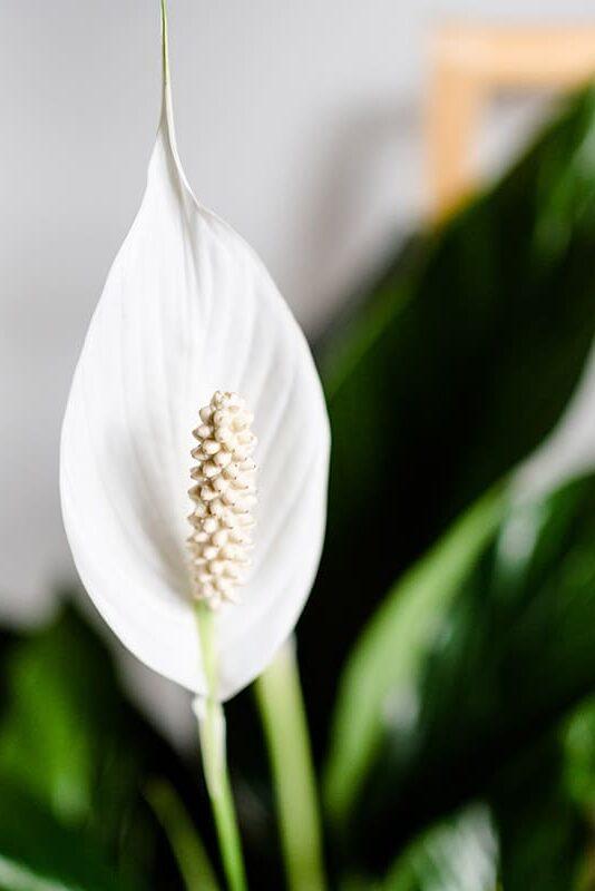 Löffelpflanze Spathiphyllum