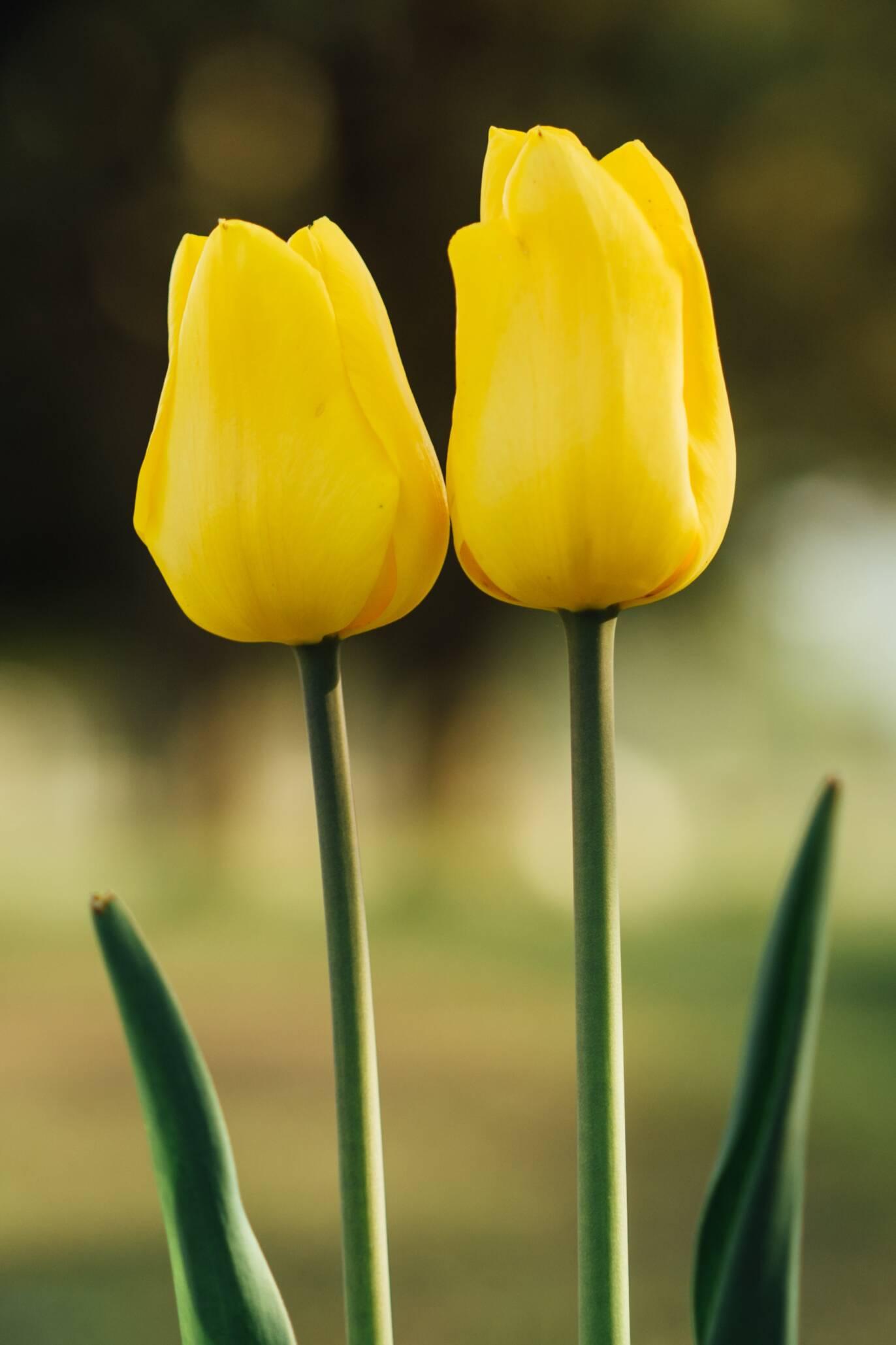 strong gold tulpen