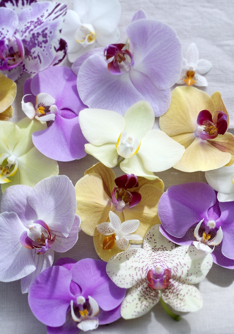 Colourful Phalaenopsis