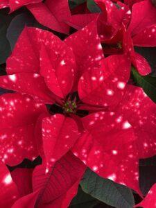 Poinsettia Skystar