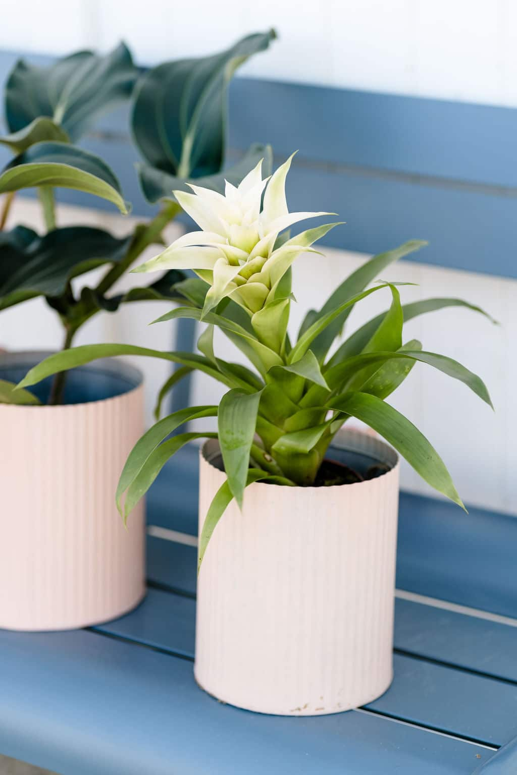 Spathiphyllum Airpurifying Plant