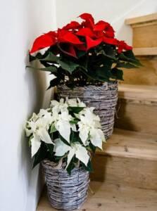 Poinsettia red white