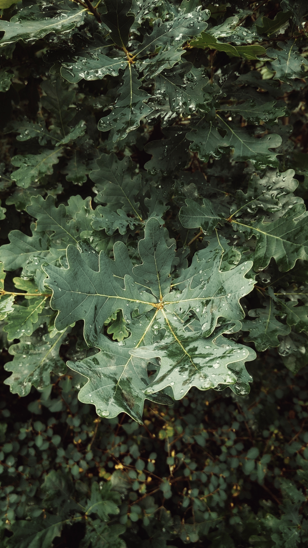 oakleaf week of green